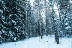 多雪的森林在西伯利亚 免版税图库摄影