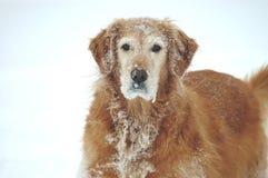 多雪的狗 免版税库存照片