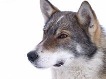 多雪的狗 免版税图库摄影