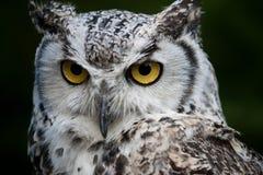 多雪的猫头鹰 免版税库存照片