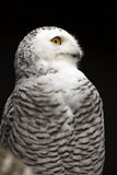 多雪的猫头鹰 免版税库存图片