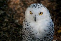 多雪的猫头鹰 库存图片