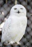 多雪的猫头鹰 库存照片