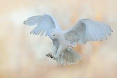 多雪的猫头鹰美丽的飞行  斯诺伊猫头鹰, Nyctea scandiaca,在天空的稀有人物飞行 冬天与开放翼的行动场面,芬兰 库存照片