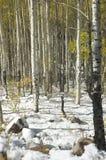 多雪的白杨木 免版税图库摄影