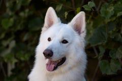 多雪的白色美丽的狗  大白色瑞士牧羊人品种 明智的狗接近的画象与愉快的微笑的神色的在绿色 免版税库存照片
