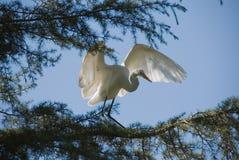 多雪的白鹭 免版税库存照片