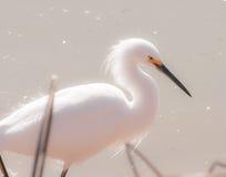 多雪的白鹭 免版税库存图片
