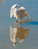 多雪的白鹭 库存图片