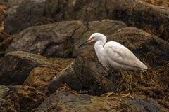 多雪的白鹭 免版税图库摄影