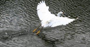 多雪的白鹭 库存照片