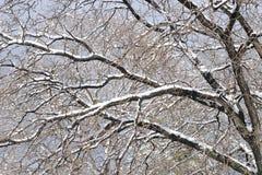 多雪的结构树 免版税库存照片