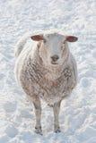 多雪的绵羊 免版税库存图片