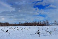 从多雪的自然的野生生物场面 跳舞对有在飞行中开放翼的红被加冠的起重机,与晴天,北海道,日本 Bir 免版税库存照片