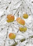 多雪的苹果 库存照片
