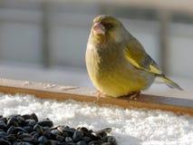 多雪的表面上的Greenfinch与种子 图库摄影