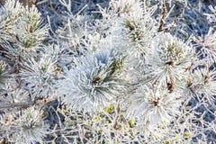 多雪的针叶树树特写镜头在冬时的 库存图片