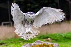 多雪飞行的猫头鹰 库存照片
