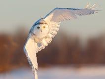 多雪飞行的猫头鹰 免版税库存照片