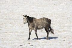 多雪马的牧场地 库存照片