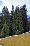 多雪高山森林横向的杉木 免版税库存图片