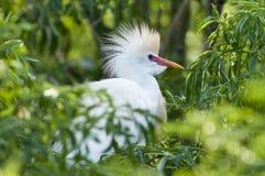 多雪鸟的白鹭 免版税库存图片