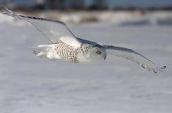 多雪活动的猫头鹰 免版税图库摄影