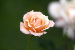 多颜色玫瑰花 库存照片