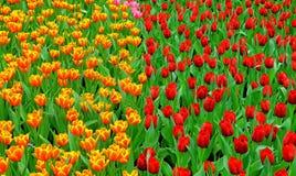 多颜色郁金香在庭院里 免版税图库摄影