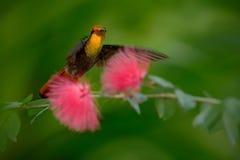 从多巴哥飞行的美丽的红宝石黄玉蜂鸟在美丽的桃红色花,明白绿色背景旁边 免版税库存照片