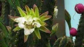 夜开花的仙人掌花在雨中 免版税库存照片