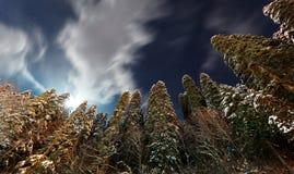 夜森林,冷杉森林在冬天 库存图片