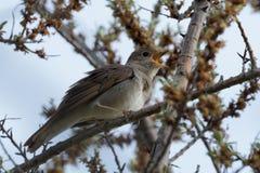 夜莺在春天唱歌的鸟 免版税库存图片