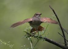 夜莺, Luscinia megarhynchos, 图库摄影