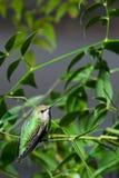 夜间蜂鸟 库存照片