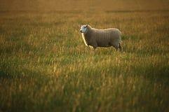 夜间轻的孤立绵羊 库存照片
