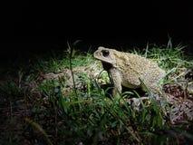 夜青蛙短小 库存图片