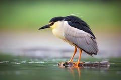 夜鹭属, Nycticorax nycticorax,灰色水禽坐在水中的,动物在自然栖所,保加利亚 免版税库存照片