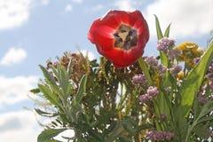 夜,自然的颜色的Tulipan女王/王后 免版税库存照片