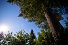 夜间和满月在森林里在杉树下 图库摄影