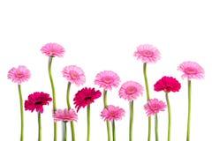 大丁草变粉红色在白色背景的大丁草 免版税库存图片