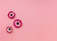大丁草在淡色口气背景的头状花序 免版税库存照片