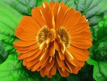 大丁草开花桔子 特写镜头 美丽的两花 绿色背景 免版税图库摄影