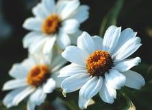 大丁草是白色的,类似雏菊的三朵白色小花 免版税库存照片