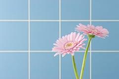 大丁草粉红色 图库摄影