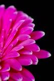 大丁草粉红色 库存图片