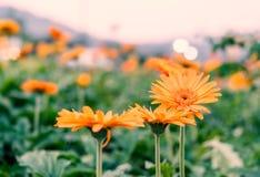 大丁草花在自然公园 免版税库存照片