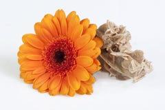 大丁草雏菊和沙漠上升了 免版税图库摄影