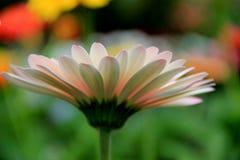 大丁草雏菊的美丽的瓣在庭院里 库存照片