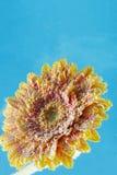 大丁草雏菊花惊人的宏观射击在水中与在蓝色背景的泡影 免版税图库摄影